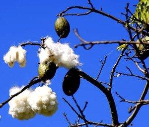 ketika-pohon-randu-berbunga