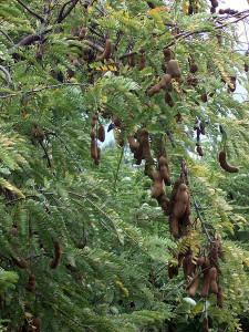 pohon-asam-jawa-2